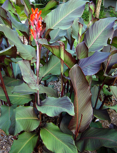 canna red stripe