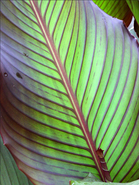 canna red stripe leaves