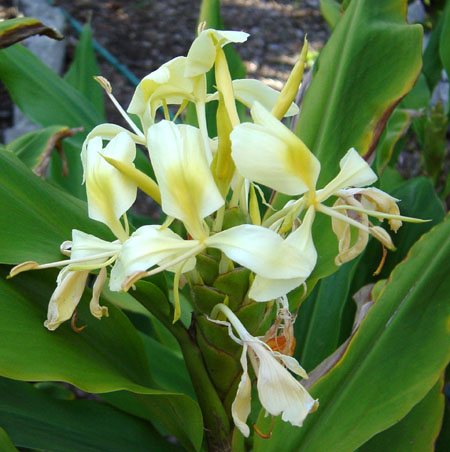 hedychium flavescens, cream ginger, yellow ginger